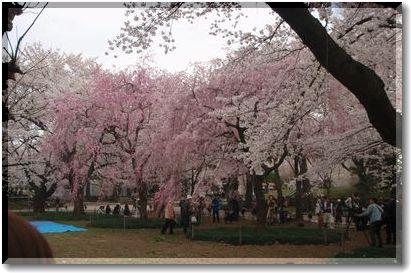 4.21しだれ桜