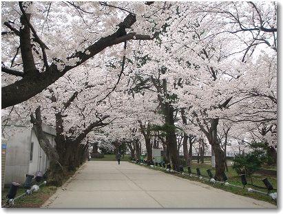 4.21桜
