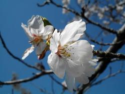 桜20120408_06