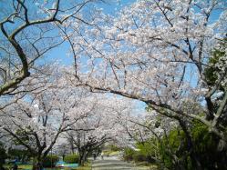 桜20120408_03