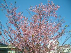 桜20120408_01
