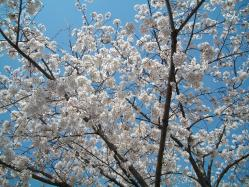 桜20120408_05