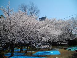 桜20120408_04