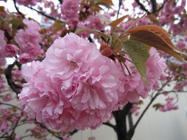 関山(かんざん)