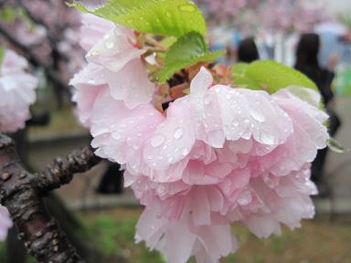雨の桜も綺麗です~♪