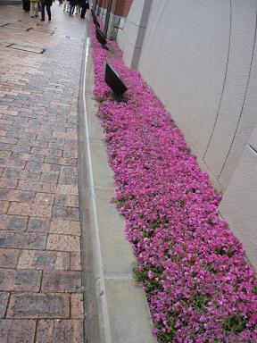 芝桜も綺麗でしたよ~♪