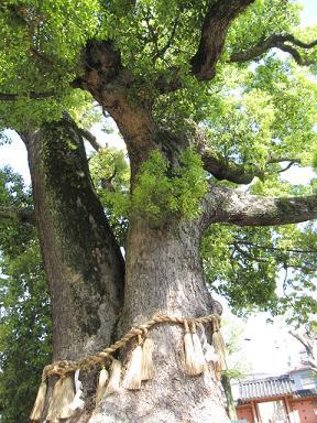 樹齢800年だそうですよ!