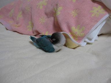 最近、お布団で寝るのがお気に入り