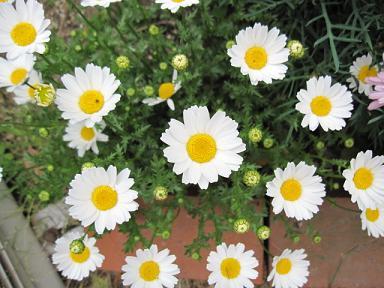 ノースポールは家の周囲でも「おのればえ」して咲いてます(笑)