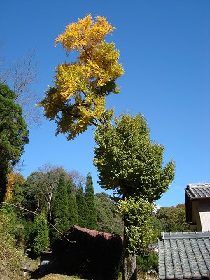 いちょうの木