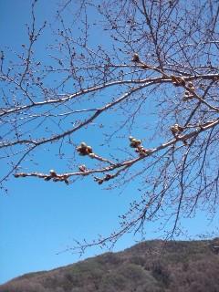 つぼみの桜