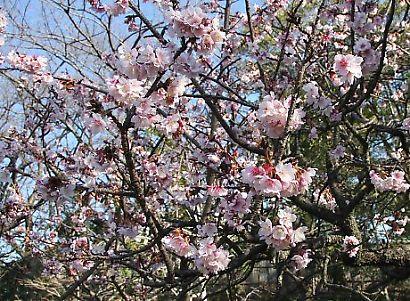 紅葉山庭園花ー6
