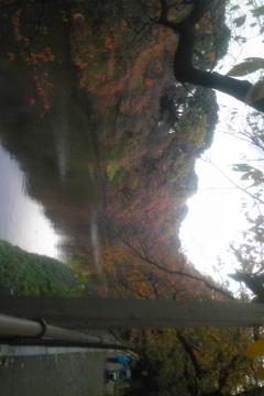 日本武道館の枯れかけ紅葉