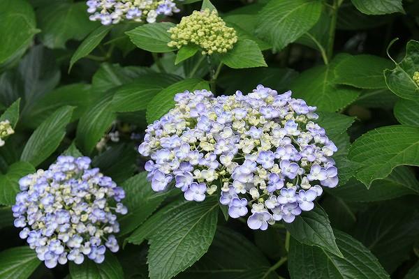六條八幡宮(通称あじさい神社)の紫陽花