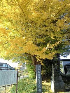 長泉寺の銀杏の木