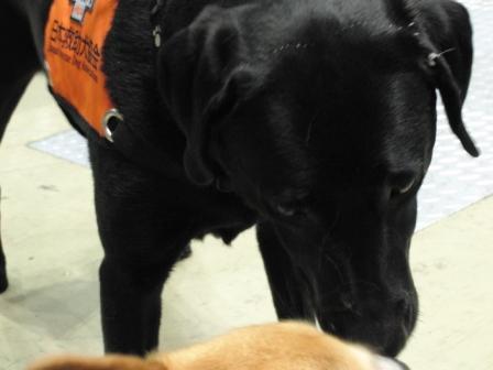 黒ラブ 救助犬.JPG