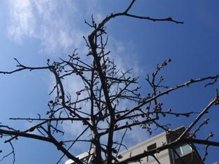 2桃のつぼみ1.JPG