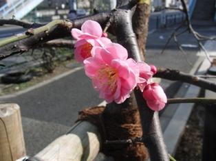 4桃の花1.JPG