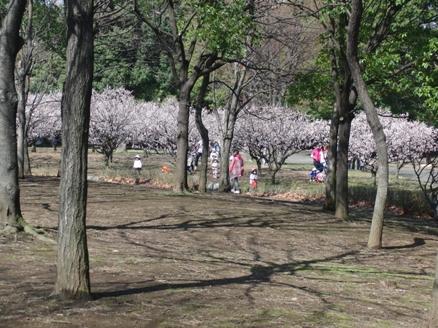 F満開の梅の花 園児ちゃんいっぱい.JPG