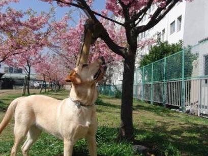 0ロンと桜の花吹雪.JPG