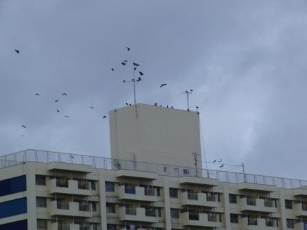 ヒッチコックの鳥?.JPG