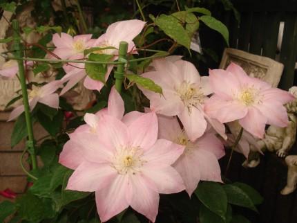 クレマチス 桜姫