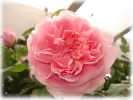 Cottage Rose (4)