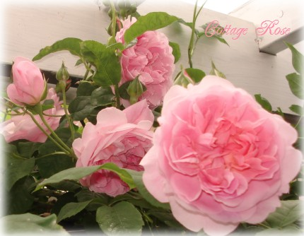 Cottage Rose 2(3)