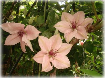 Clematis Pink Fantasy (2)
