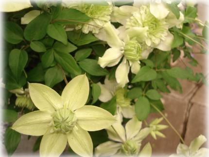 Clematis florida 'Alba Plena' (2)