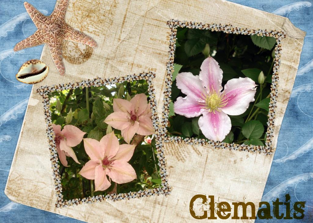 Clematis_20100801141408.jpg
