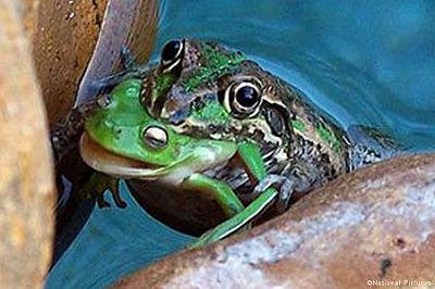 カエルの共食い
