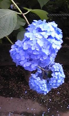 紫陽花(青)