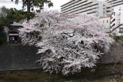 sakura2011 (2)