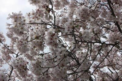 sakura2011 (19)