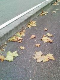 ポプラ落ち葉