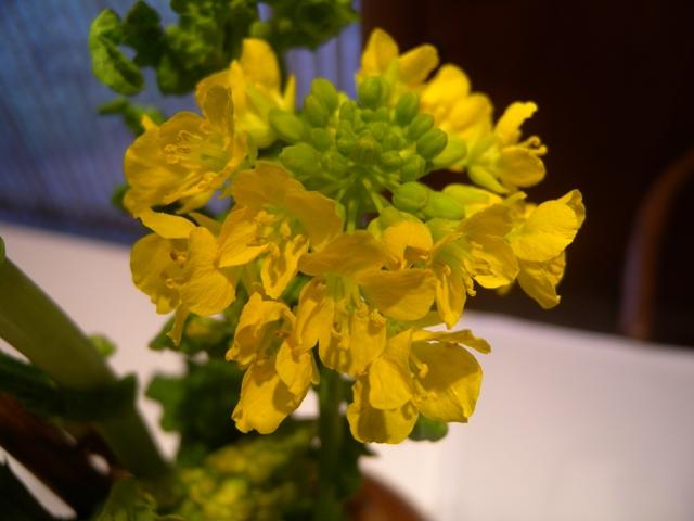 菜の花と紫陽花4