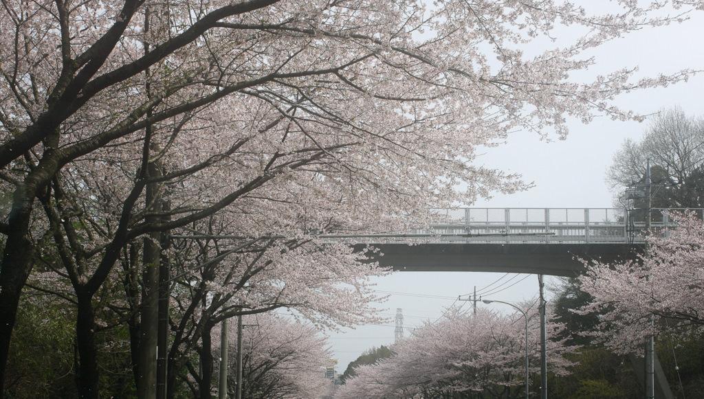 IMG_0127-sakura.jpg