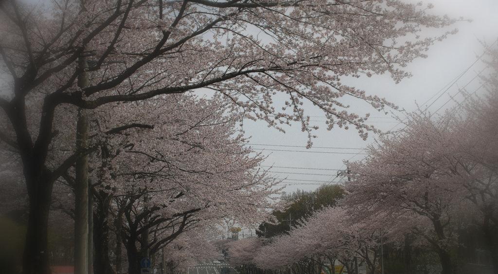 IMG_0137-sakura.jpg