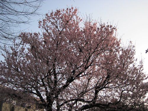 IMG_6386桜