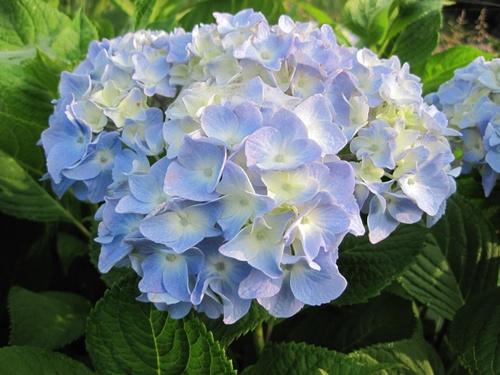 IMG_0916 6_11紫陽花