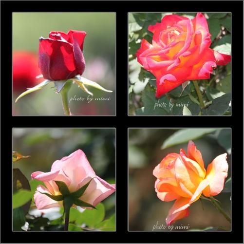 roze-2010-2a.jpg