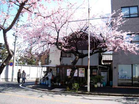桜と古い家