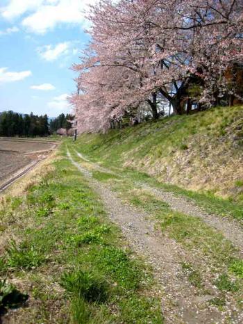 木島平の桜