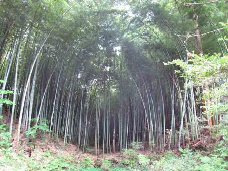 鏡ケ池 の竹林