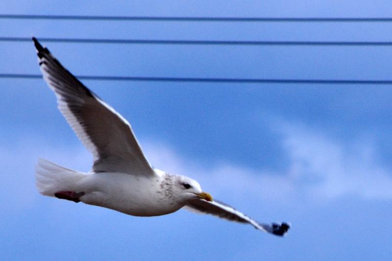 西条市の野鳥 セグロカモメ