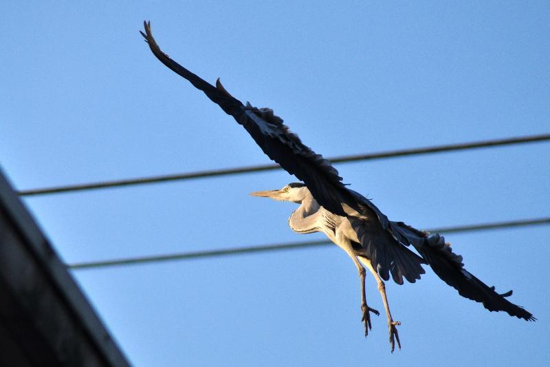西条市の野鳥 アオサギ 連写