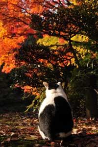 日比谷公園の野良猫(後ろ姿)とモミジ紅葉