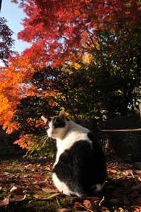 日比谷公園の野良猫とモミジ紅葉