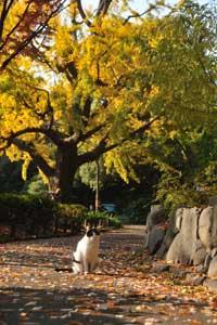 日比谷公園の野良猫とイチョウ黄葉
